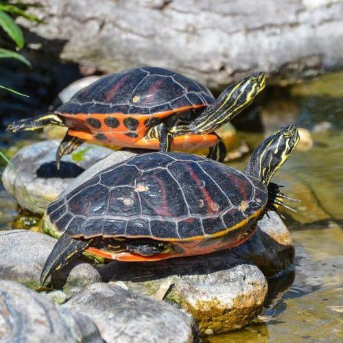 Terrapin / Turtle Care