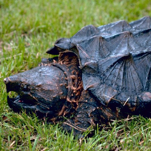 Alligator_snapping_turtle+-281-29-480w