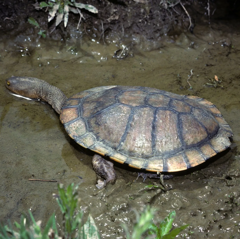 CSIRO_ScienceImage_7775_Eastern_Snakenecked_Turtle-1920w-480w